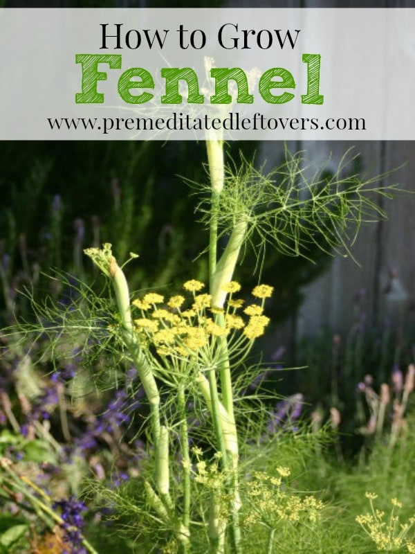 How To Grow It And How To Use It For: How To Grow Fennel