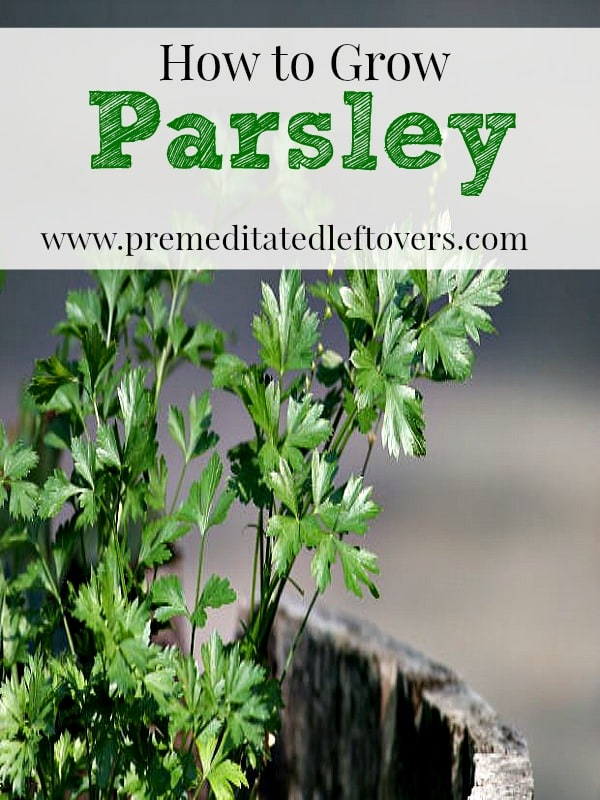 How To Grow It And How To Use It For: How To Grow Parsley