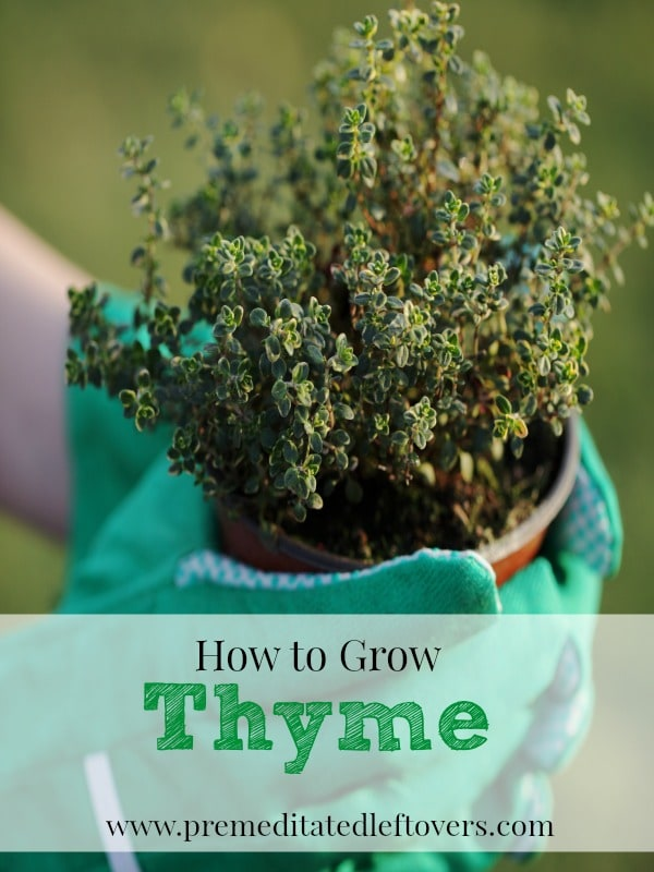How To Grow It And How To Use It For: How To Grow Thyme