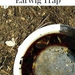 How to Make a Homemade Earwig Trap