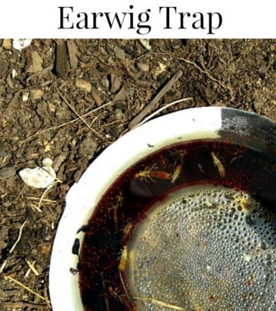 How to make an earwig trap