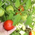 Increasing tomatoes in garden with liquid fertilizer
