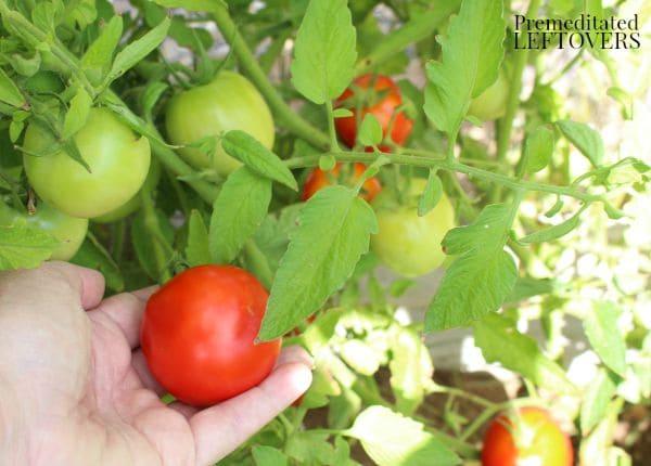 Increasing tomatoes in garden with liquid fertilizer