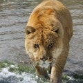 Sierra Safari Zoo Liger