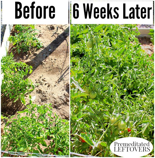 Tomato Growth after 3 applications of Miracle-Gro LiquidFeed Tomato, Vegetable, and Fruit Plant Food