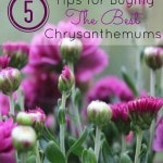 5 Tips for Buying the Best Chrysanthemums- Fall means that mum season is here! These tips will help you pick healthy plants that will perform all year long.