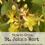 How to Grow St. John's Wort- St. John's Wort is commonly used for herbal remedies and has beautiful blooms. Growing your own is easy with these useful tips.