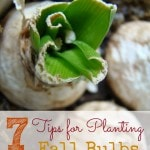 7 Tips for Planting Fall Bulbs- Correctly planting your fall bulbs now can help you enjoy colorful results in the spring. Learn how with these helpful tips.
