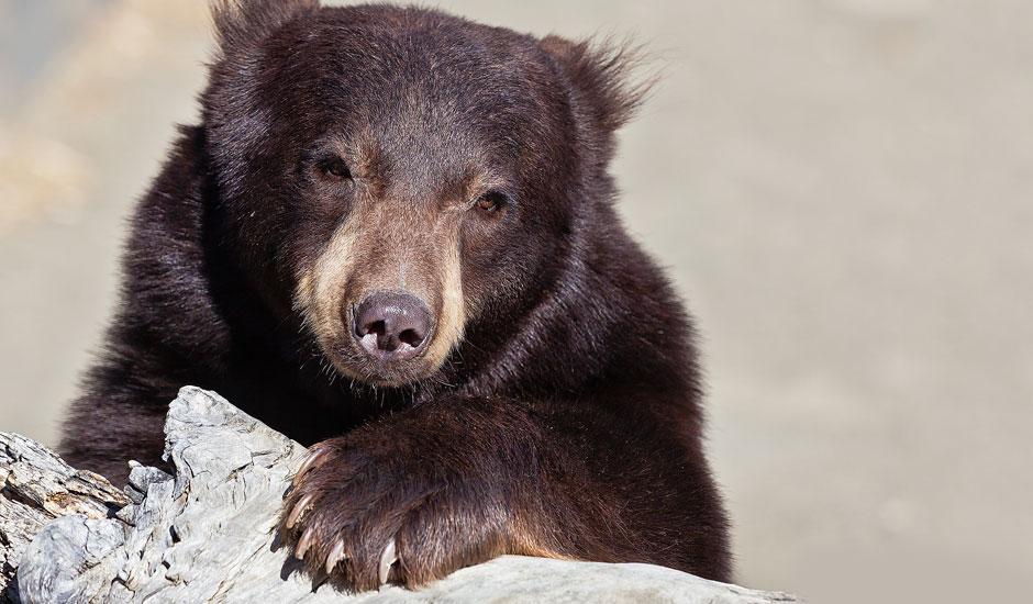 Black Bear LG at the Animal Ark