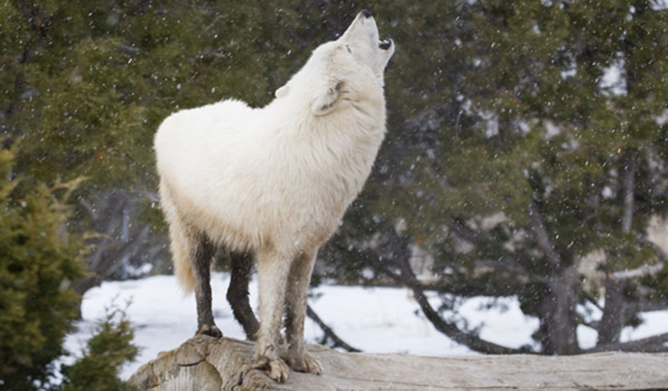 Rayna the Arctic Wolf at The Animal Ark