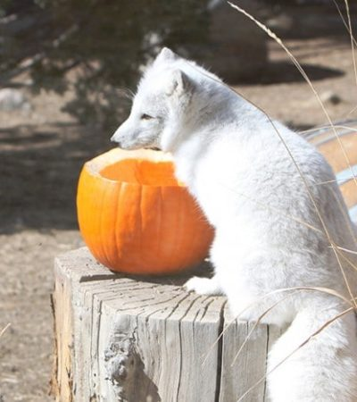 Thanksgiving Weekend at the Animal Ark- Visit the Animal Ark for two special days over Thanksgiving weekend. Many of their animals are active in the fall!