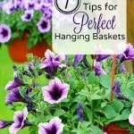 7 Tips for Creating Perfect Hanging Baskets- Ever drive by a house and admire their beautiful hanging flower baskets? Create your own with these handy tips!