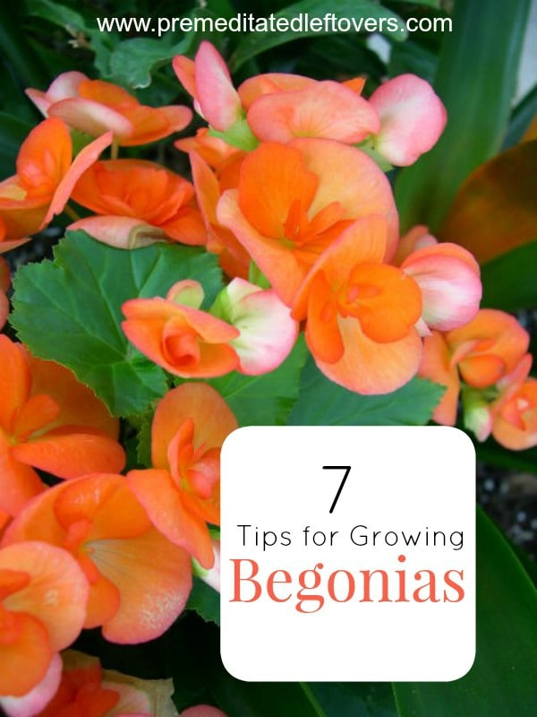 7 Tips for Growing Begonias- Begonias are colorful annuals that can thrive in shaded areas. Check out these 7 gardening tips to successfully grown your own.