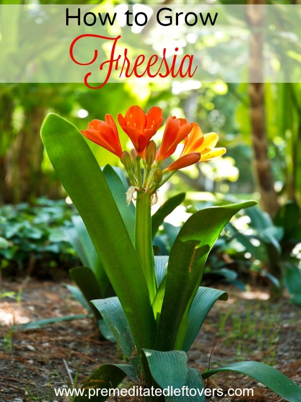 7 Tips for Growing Freesia- Freesia has a sweet smell and delicate trumpet blooms that come in many colors. It's easy to grow with these gardening tips.