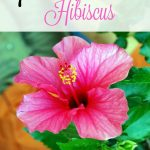 7 Tips for Growing Hibiscus- Hibiscus is a tropical flower that hummingbirds and butterflies love. Grow your own with these helpful gardening tips.