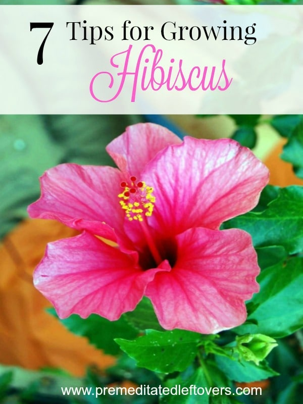 7 Tips For Growing Hibiscus