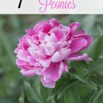 7 Tips for Growing Peonies- Peonies are a hardy perennial with gorgeous blooms. If you'd like to learn how to grow your own, follow these gardening tips.