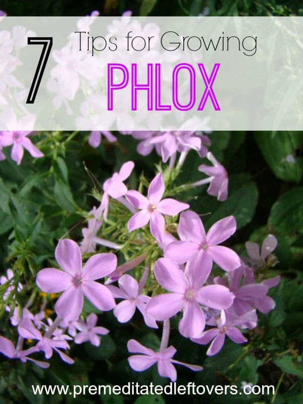 7 Tips for Growing Phlox- Phlox is a hardy flower that blends nicely with other plants. These 7 gardening tips will show you just how easy it is to grow.