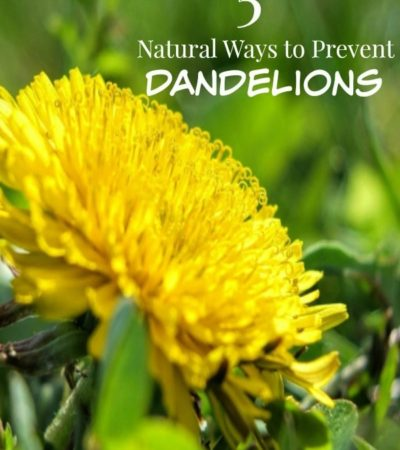 5 Natural Ways to Prevent Dandelions- Dandelions smother other plants and create unsightly weed patches in your yard. Remove them naturally with these tips.