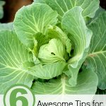 6 Awesome Tips for Growing Cabbage