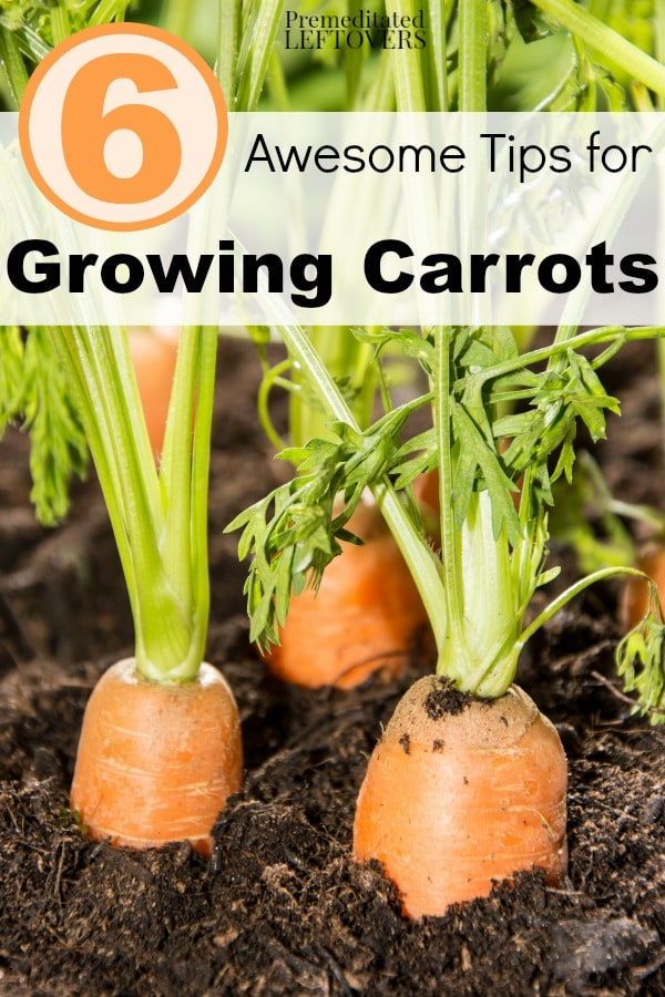 6 awesome tips for growing carrots for Gardening tips