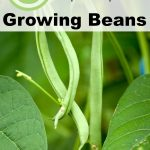 6 Expert Tips for Growing Beans