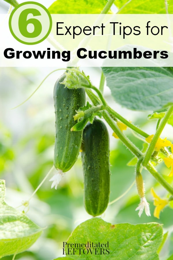 6 Expert Tips for Growing Cucumbers- Are you thinking about growing cucumbers? Use these expert gardening tips to grow healthy and thriving cucumber plants.