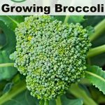 6 Great Tips for Growing Broccoli