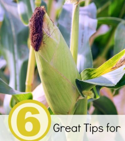 6 Great Tips for Growing Corn- Planning on growing corn this year? Here are 6 great tips for growing corn to ensure your harvest is great!