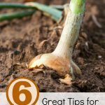 6 Great Tips for Growing Onions