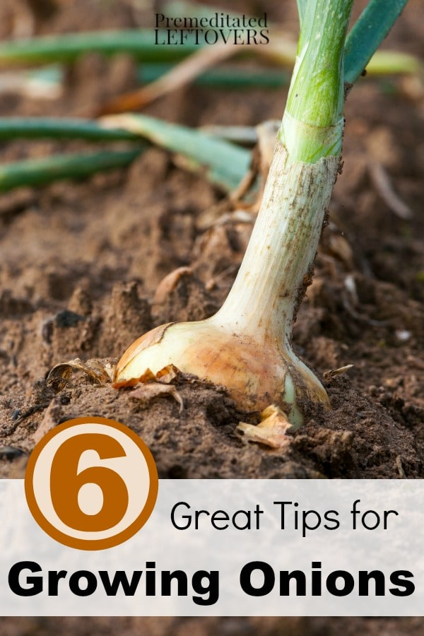 6 Great Tips for Growing Onions- Have you ever considered growing your own crop of onions? These helpful gardening tips will get you started!