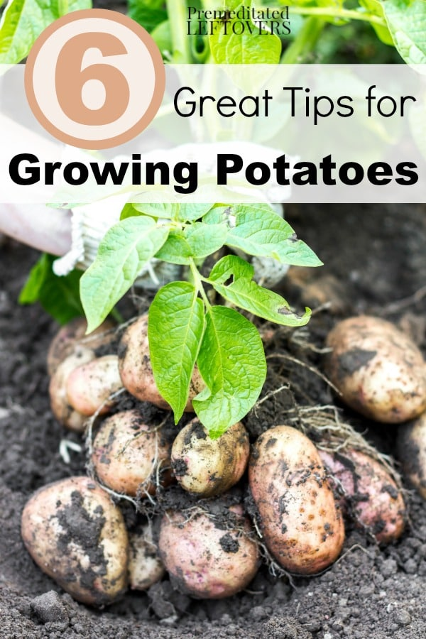 6 Great Tips For Growing Potatoes
