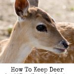 How to Keep Deer Out of Your Vegetable Garden- Deer can eat away at plants and wreak havoc on your vegetable garden. These helpful tips will keep them away.