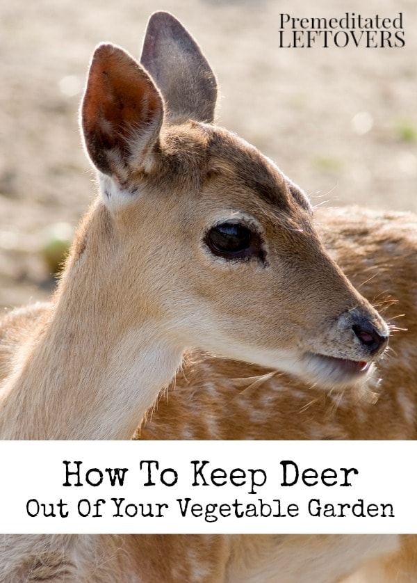 How To Keep Deer Out Of Your Vegetable Garden  Deer Can Eat Away At Plants