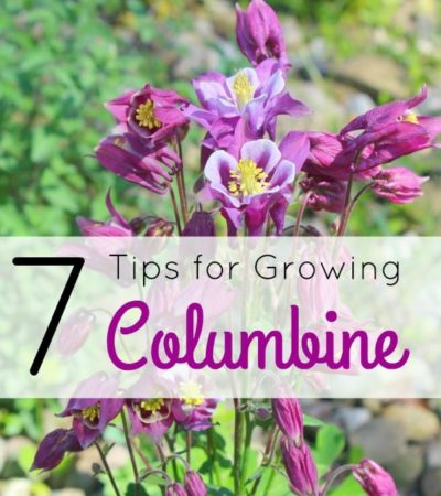 Tips for Growing Columbine- Columbine is a hardy perennial that comes in a variety of colors. Growing this beautiful flower is easy with these helpful tips.