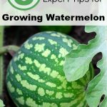 6 Expert Tips for Growing Watermelon