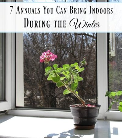 7 Annuals You Can Bring Indoors During the Winter- These annuals can thrive indoors in the winter months. Don't toss them once the colder temperatures hit!