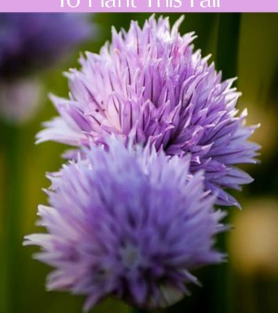 Flower Bulbs: Find out the Best Fall Flower Bulbs To Plant This Fall! We have some of the best choices for a gorgeous flower garden next Spring.