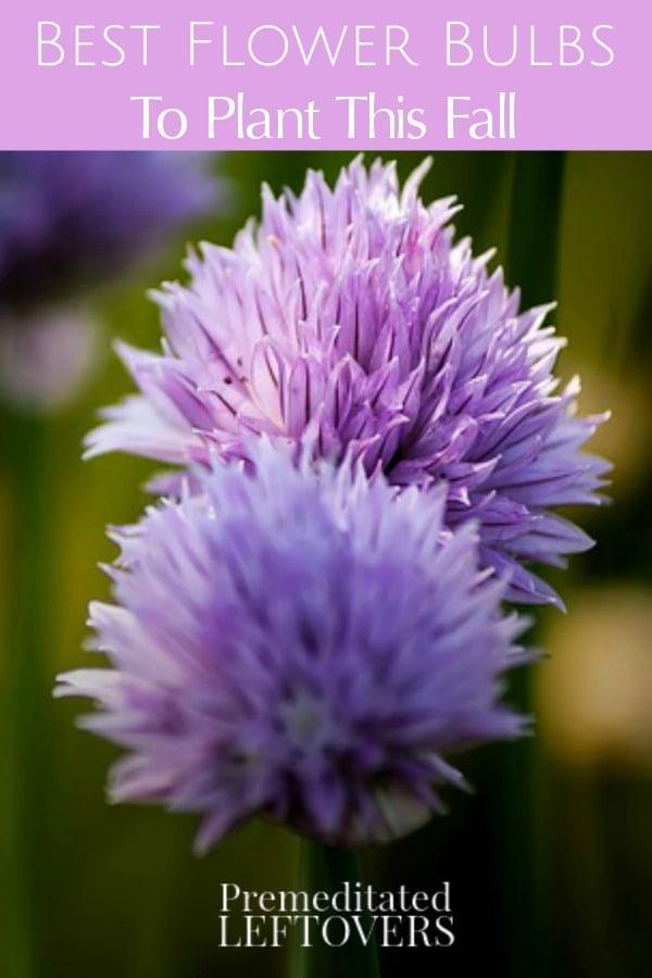 Best flower bulbs to plant this fall for spring flowers for Popular fall flowers