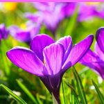 Tips For Growing Crocus Plants