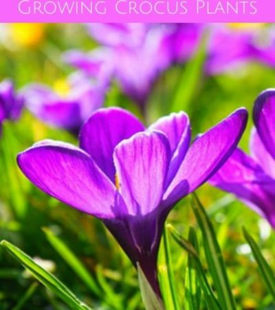 Crocuses are some of the first flowers to bloom each spring. Use these Tips For Growing Crocus Plants to bring a beautiful pop of color to your garden.