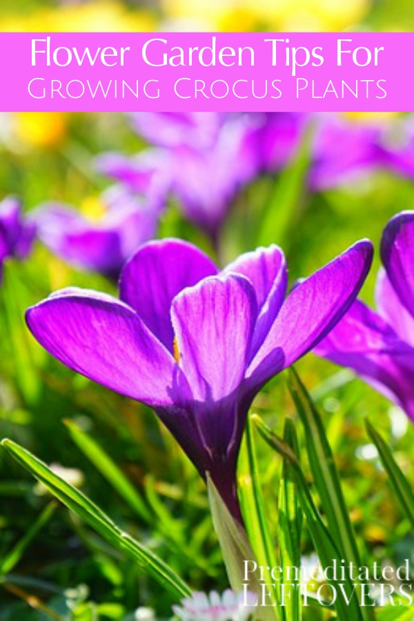 Crocuses Are Some Of The First Flowers To Bloom Each Spring. Use These Tips  For