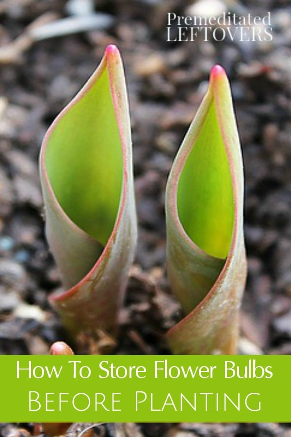 Here are a few helpful tips on How to Store Flower Bulbs Before Planting. These tips will help prevent rot and mold that could damage the bulbs.
