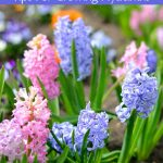 Are you planting hyacinth bulbs this fall? Use these Tips for Growing Hyacinths to grow beautiful, thriving hyacinth flowers around your home and garden.