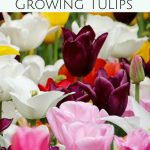Beautiful blooms of tulips line streets and yards in the spring. These Tips for Planting Tulip Bulbs will help you grow vibrant tulips of your own.
