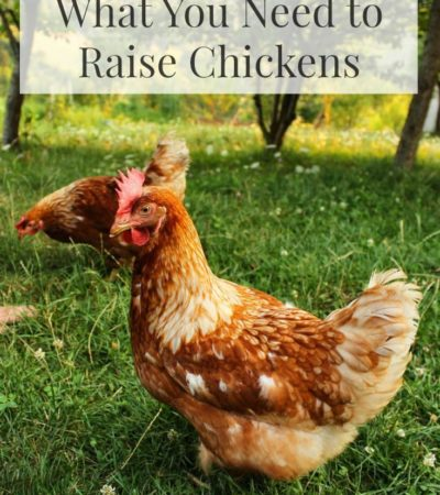 Thinking about raising chickens in your yard? This helpful list of What You Need to Raise Chickens includes essential items to buy before getting started.
