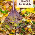 How to Use Fall Leaves for Mulch