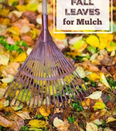 Learn How to Use Fall Leaves for Mulch with these gardening tips. Leaves can protect plants from the cold and provide a frugal way to landscape your yard.