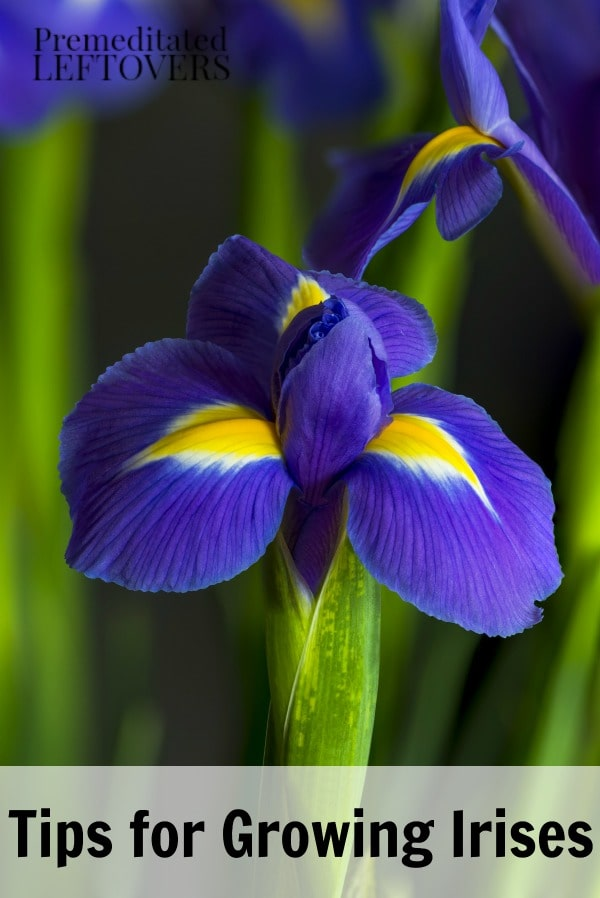Irises are a popular flower to grow in flower gardens. These Tips for Growing Irises will show you how to plant, grow, and maintain this beautiful flower.
