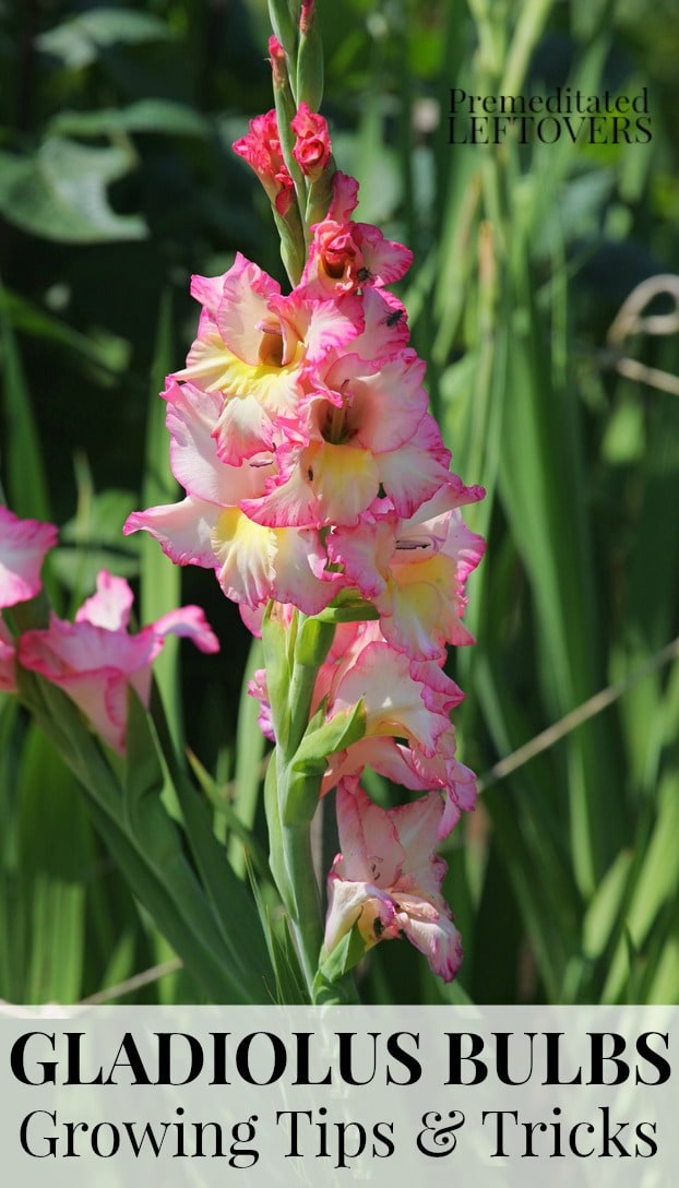 Tips for Growing Gladiolus